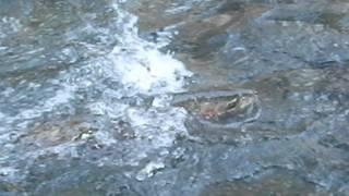 fishing the hoh river for steelhead
