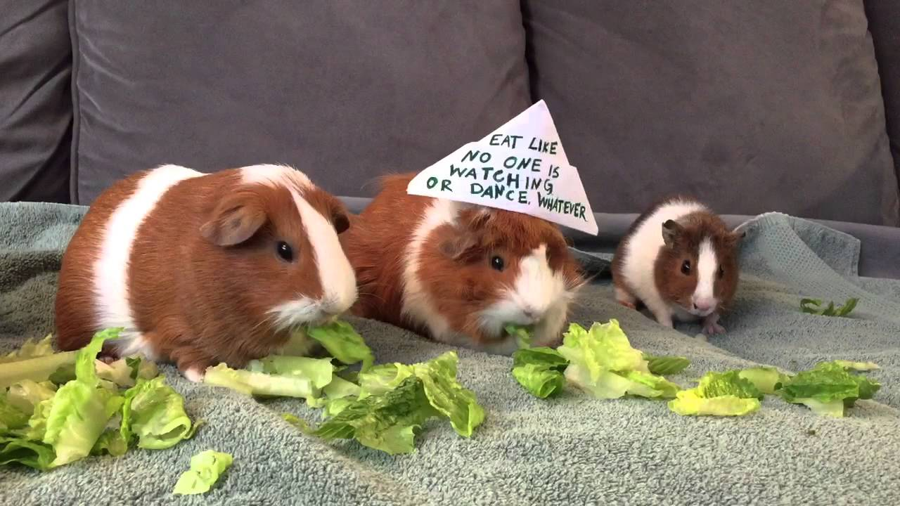 Food List Guinea Pigs