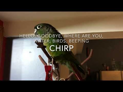 Guide to Green Cheek Conure Behavior