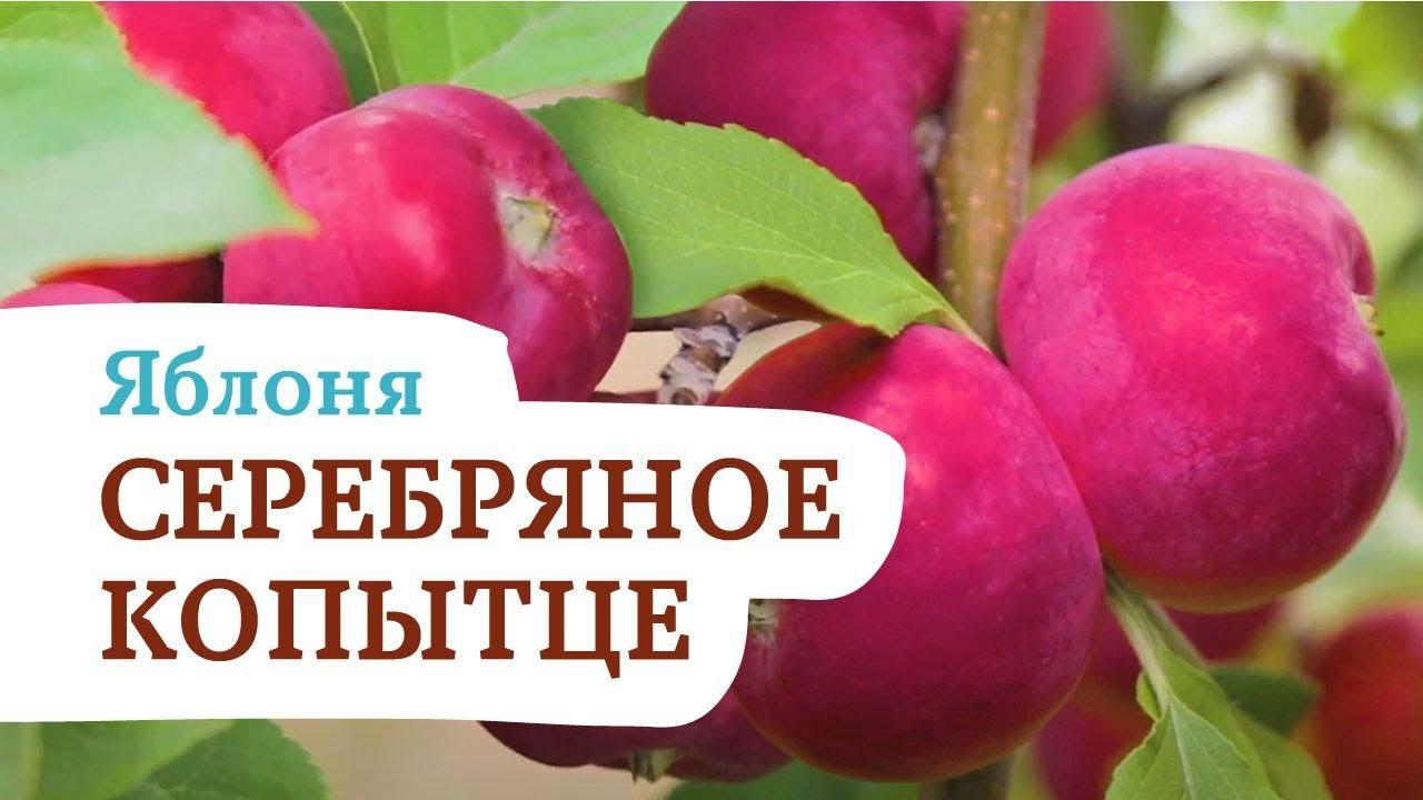 Яблоня Серебряное копытце. Восхитительный летний сорт яблок