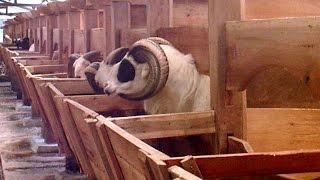Video Koleksi Domba Adu | Peternakan Domba Adu download MP3, 3GP, MP4, WEBM, AVI, FLV Agustus 2018