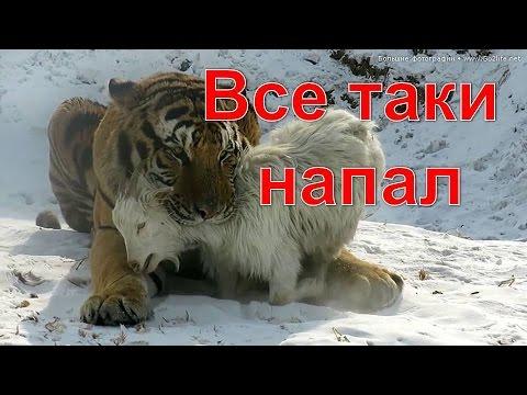 Терпеливый Тигр Амур Набросился на Дерзкого Козла Тимура. Козел ранен. Не пропустите