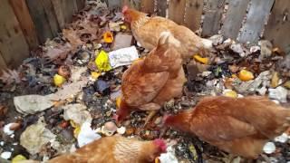 Composting kitchen scraps/chicken surprise!