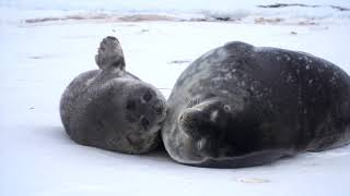 How Moms Matter To Weddell Seal Pups