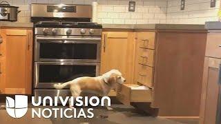 El videíto: El ingenio de esta perra para escalar al tope de la cocina de su dueña te dejará con la