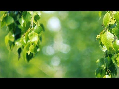 Футаж — Красивые ветки березы. Березка. Футажи (footage) красивая природа [FullHD]