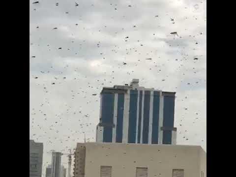 Swarms Of Locusts Darken Sky Over Bahrain As They Threaten Crops | ABC News
