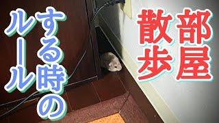 ハムスターを部屋で散歩させる時のルール How to make a hamster walk