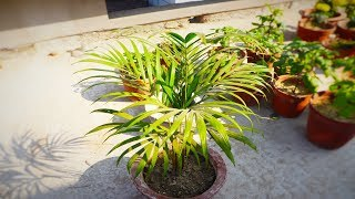 Areca Palm Complete Care and Tips || Hindi
