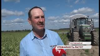 В Ярославской области собирают огромный урожай салата Айсберг