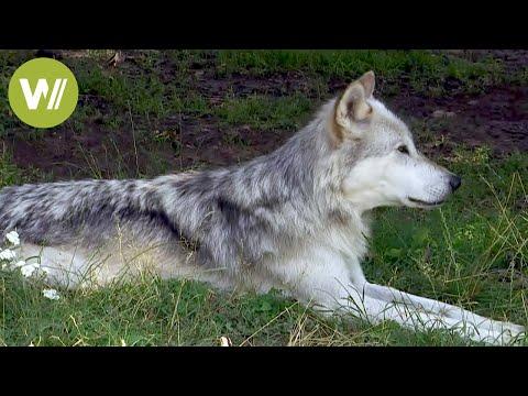Hund Und Wolf: Ihre Gemeinsamkeiten Und Unterschiede