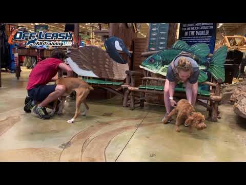 7 Month Old Boxer | Best Boxer Dog Training | Offleash K9 | Board & Train | Oklahoma