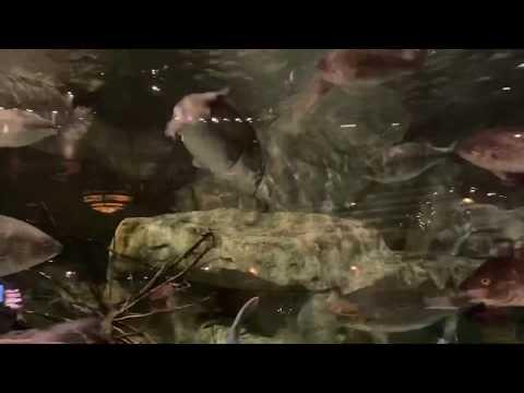 12lb Bass Attacks 2lb Bass In Fish Tank At Bass Pro Shops