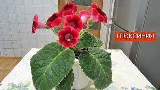 Цветы - Глоксиния | Релакс | Relax