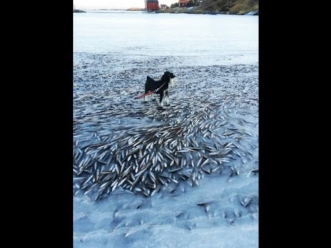 Shock! NORWAY FISH FREEZE!! Thousands Of Fish Instantly DEAD! At -7.8° Temp