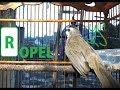 Masteran Burung Trucukan Ropel Panjang Masteran Trucukan Durasi Panjang  Mp3 - Mp4 Download