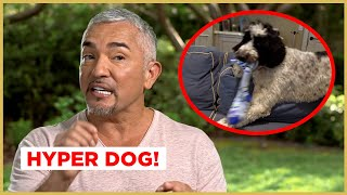 This DOG grabs EVERYTHING in the house! (Cesar911 Shorts)