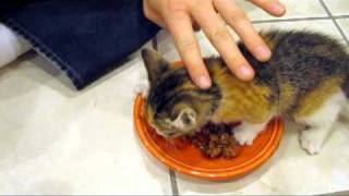 Kitten VERY Protective of her Food