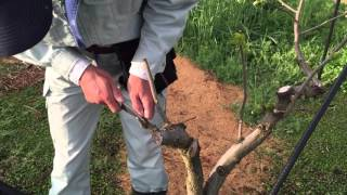 ちょこちょこ果樹栽培5 柿の接ぎ木