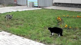 Схватка кота и собаки... трагическая развязка....