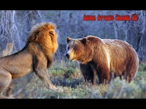 lobos peleando salvajemente por comida