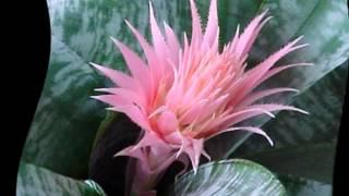 видео Бриофиллум: фото, виды и способы ухода за растением