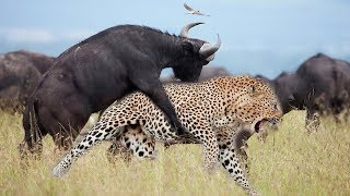 LIVE: Strong Buffalo Suddenly Jump From Behind Makes Leopard Can Not Escape - Wild Animals Discovery