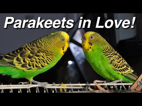 Parakeets Budgerigar Budgie Sex Making Love Mating Coitus Copulation Procreation Intercourse