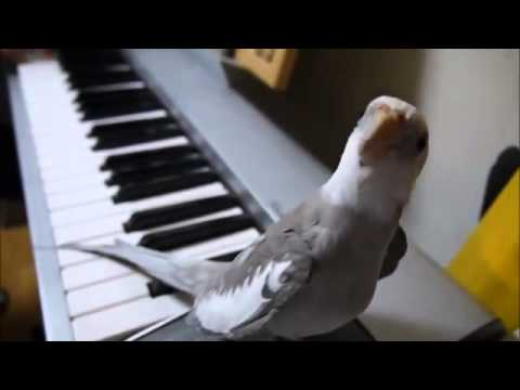A calopsita que adora cantar, ou melhor, obiar