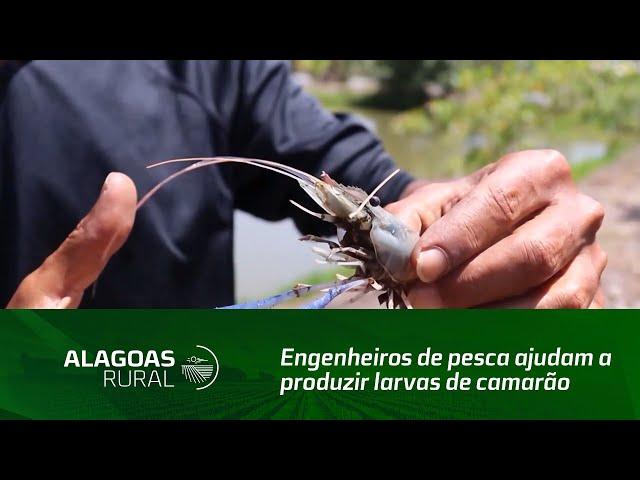 Engenheiros de pesca ajudam a produzir larvas de camarão
