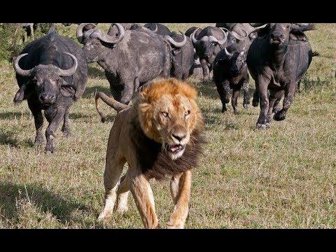 Predator Fail - How often do Predators Fail to Capture Their Prey (Nat Geo)