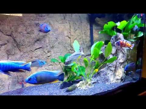 Cichlids! - 5 Tips