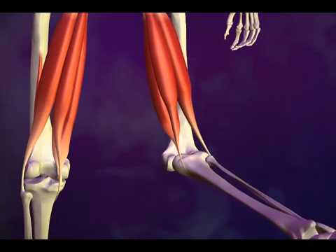 Pulling a Hamstring Muscle - What Is a Pulled Hamstring - YouTube