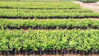 best guava plants available in ap telangana cloning published in etv jaikishan