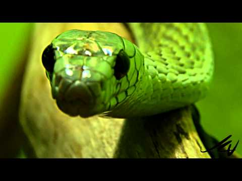 snakes---west-african-green-mamba-and-other-deadly-reptiles