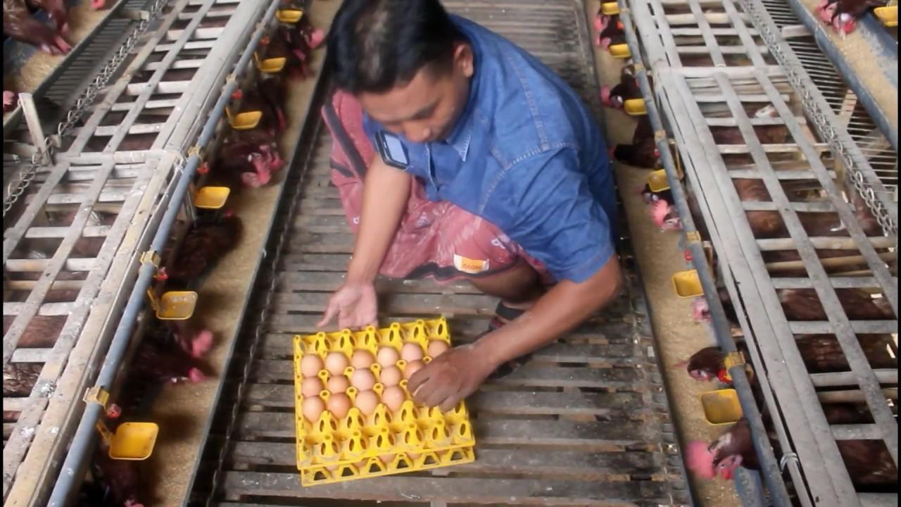 Usaha Santri Budidaya Ayam Petelur Modal 60 Juta#bab 2 ...