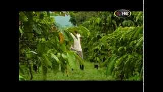 Climate change affecting coffee production in Uganda