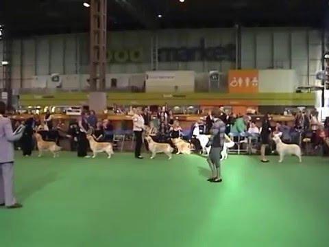 Golden retriever mid limit bitch (shortlist) crufts 2016