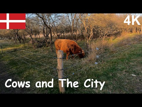 【 4K 】🇩🇰  Denmark Copenhagen cows and the city | 哥本哈根動物篇-蘇格蘭高地牛