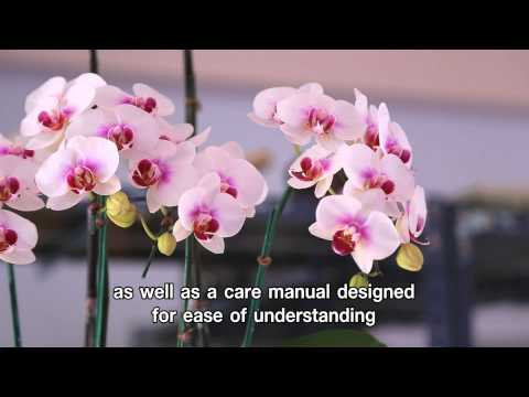 Phalaenopsis Orchid Flower Arrangement by Natural Thai Orchid Co.,Ltd.