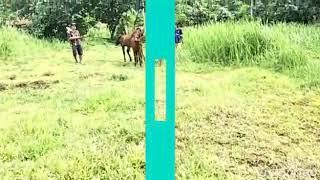 Kuda kawin, Ngawinin kuda