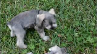 Mini Schnauzer Puppies Playing In Backyard