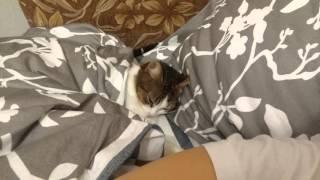 Кошка спит как человек