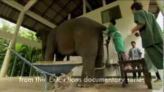 Repeat youtube video Como é feita a coleta de sémen em elefantes parte 2