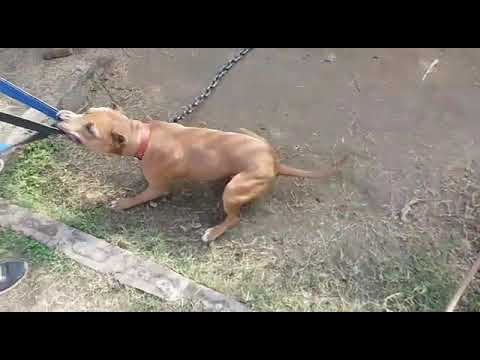 POWER OF PITBULL || INDIAN PITBULL SHOWING GRIP POWER || PITBULL INDIA Punjab de PITBULL