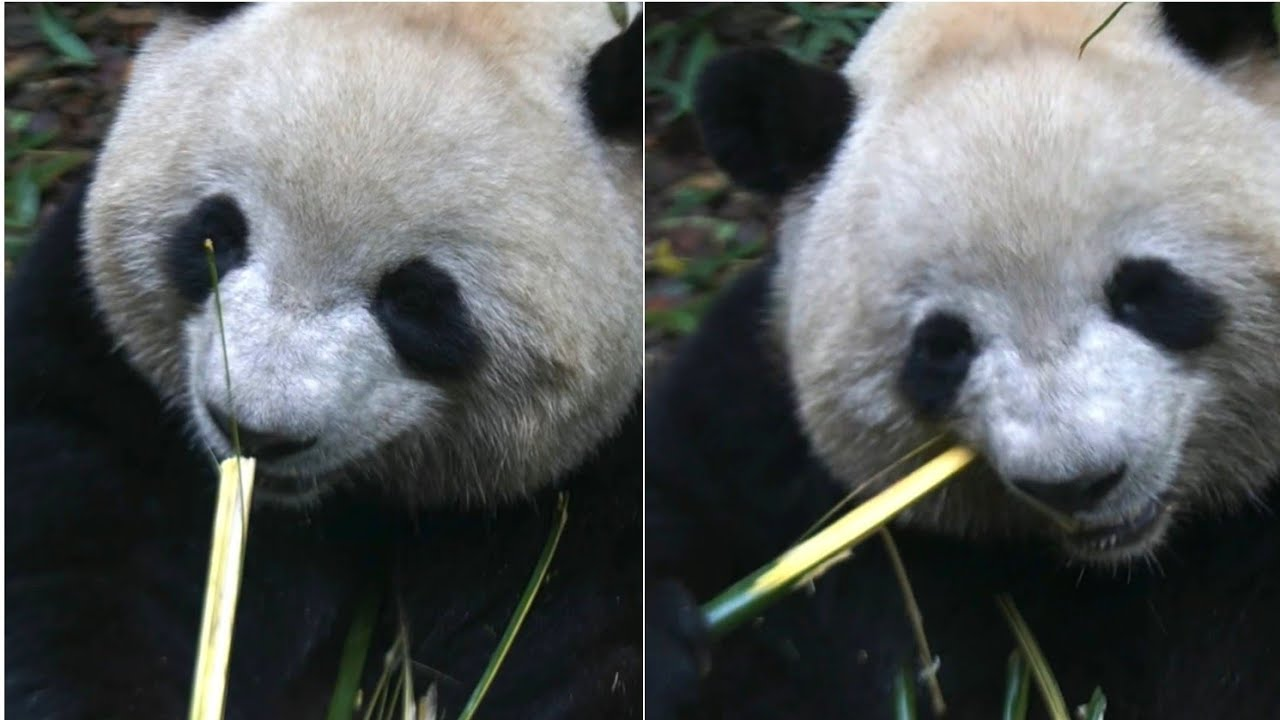 Panda is so happy eating bamboo (ROLL ROLL)