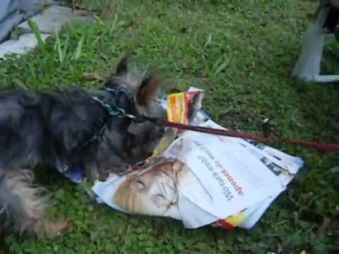 Yorkie liebt Zeitung