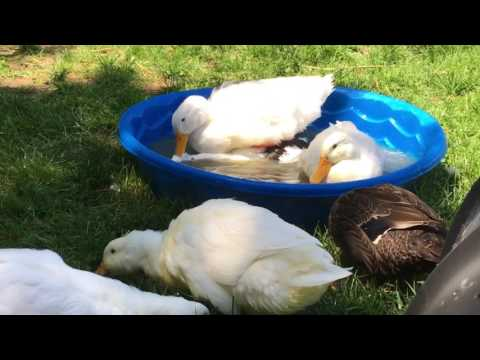 Domestic Duck mating Pekin and Ancona
