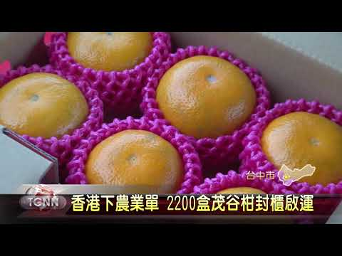 大台中新聞-香港下農業訂單 台中茂谷柑封櫃啟運