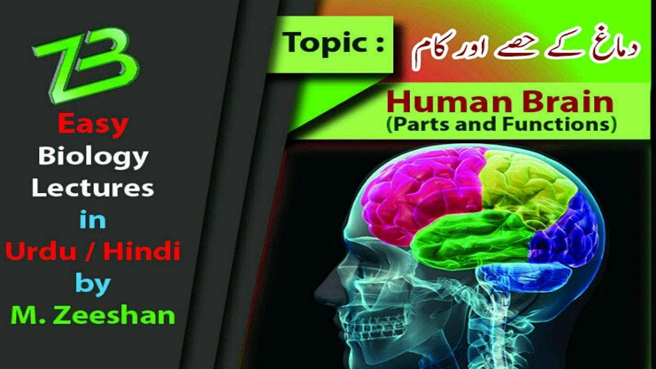 Human brain parts and function in urdu hindi